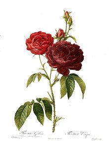 Whaddya Mean Rosebuds?